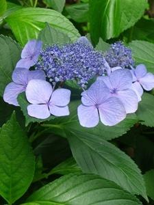 額紫陽花の花.jpg