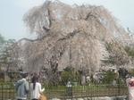 嵐山枝垂れ桜�A.jpg