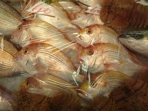 連子鯛(黄鯛).jpg