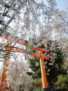 京都平野神社 桜.jpg