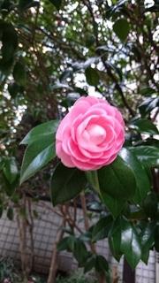 八重の椿ピンク.jpg