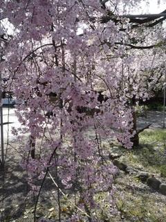 枝垂れ桜2.jpg