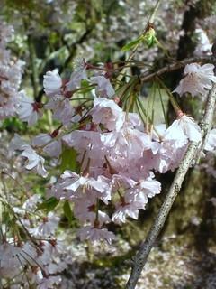 枝垂桜1.jpg