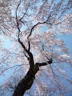 桜の下から.jpg