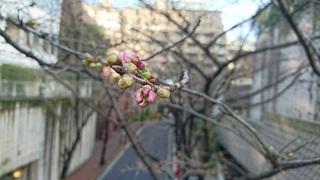 桜の蕾.jpg