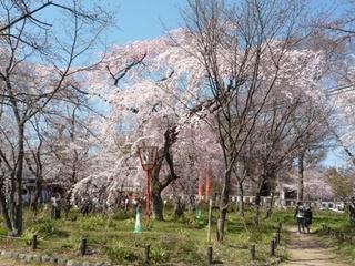 桜遊歩道.jpg
