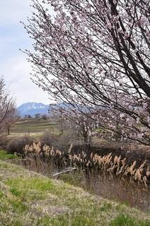 浅間山と桜とすすき.jpg
