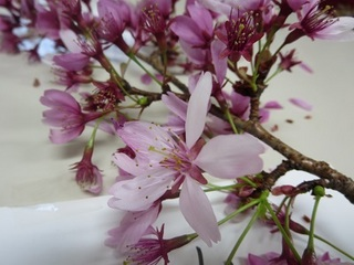1桜の花.jpg