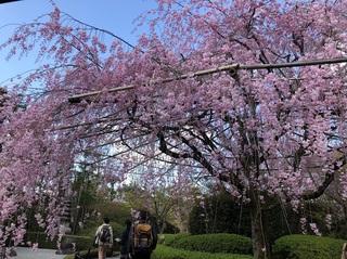 IMG_3998京都退蔵院枝垂れ桜.jpg